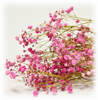 Dried Gyps Pink Extra Bunch